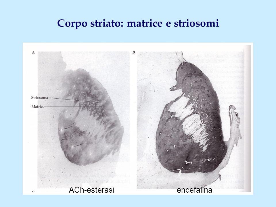 Corpo striato: matrice e striosomi