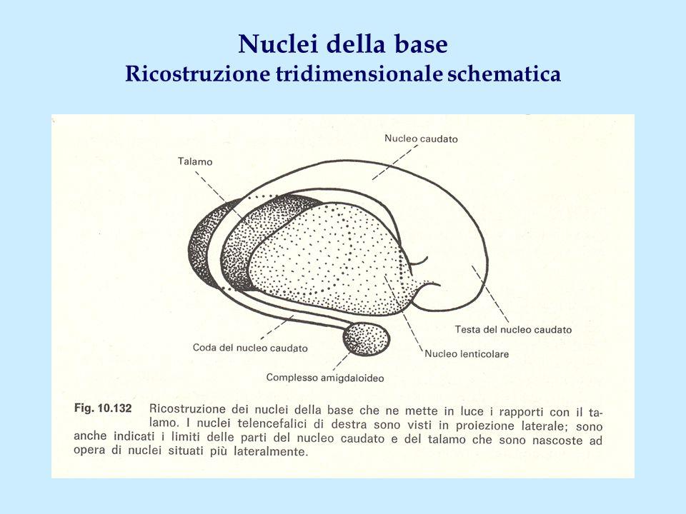Nuclei della base Ricostruzione tridimensionale schematica
