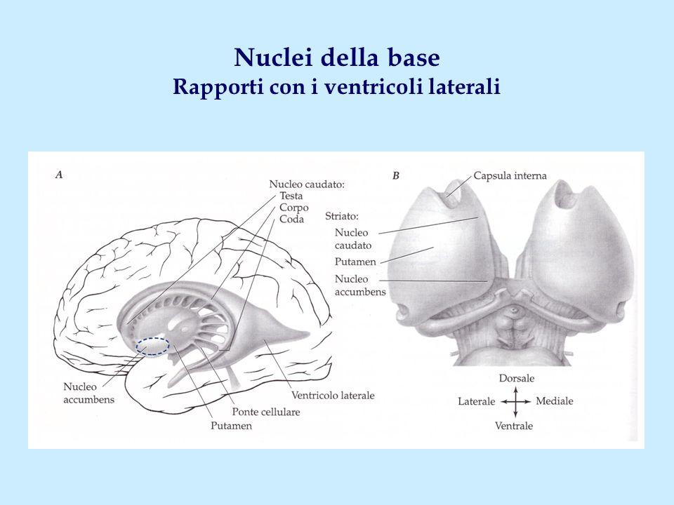 Nuclei della base Rapporti con i ventricoli laterali