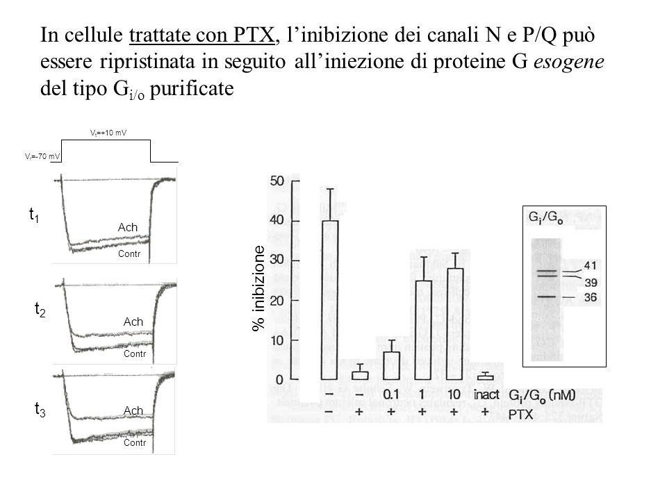 In cellule trattate con PTX, l'inibizione dei canali N e P/Q può essere ripristinata in seguito all'iniezione di proteine G esogene del tipo Gi/o purificate
