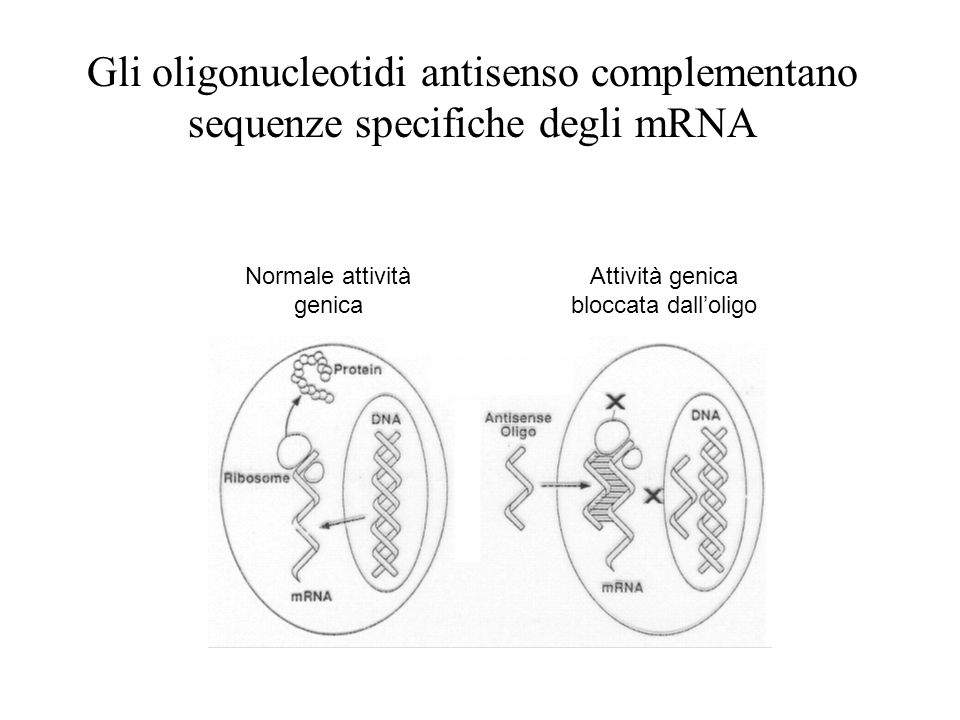 Gli oligonucleotidi antisenso complementano sequenze specifiche degli mRNA