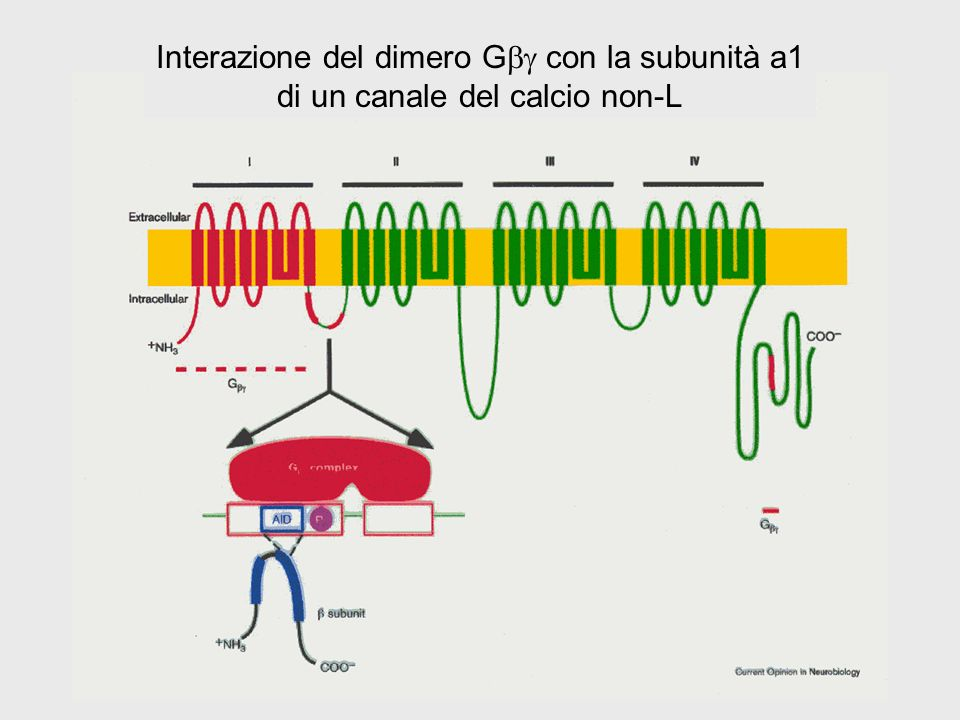 Interazione del dimero Gbg con la subunità a1 di un canale del calcio non-L