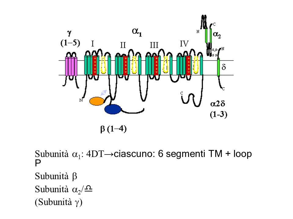 Subunità a1: 4DT→ciascuno: 6 segmenti TM + loop P