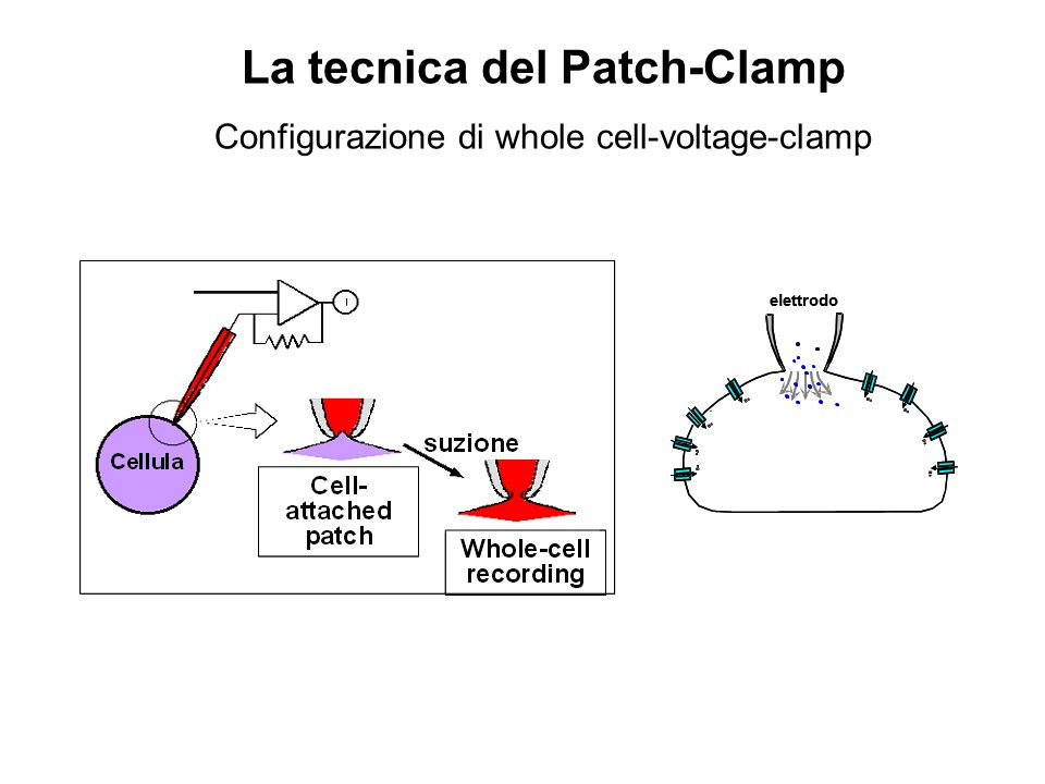 La tecnica del Patch-Clamp