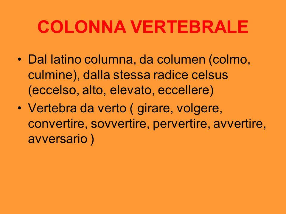 COLONNA VERTEBRALE Dal latino columna, da columen (colmo, culmine), dalla stessa radice celsus (eccelso, alto, elevato, eccellere)