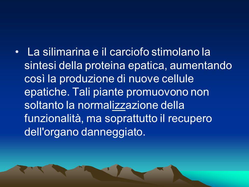 La silimarina e il carciofo stimolano la sintesi della proteina epatica, aumentando così la produzione di nuove cellule epatiche.