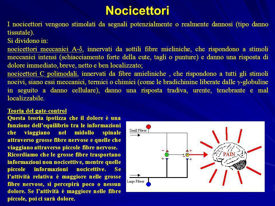 Nocicettori I nocicettori vengono stimolati da segnali potenzialmente o realmente dannosi (tipo danno tissutale).