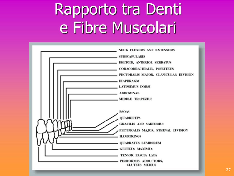 Rapporto tra Denti e Fibre Muscolari