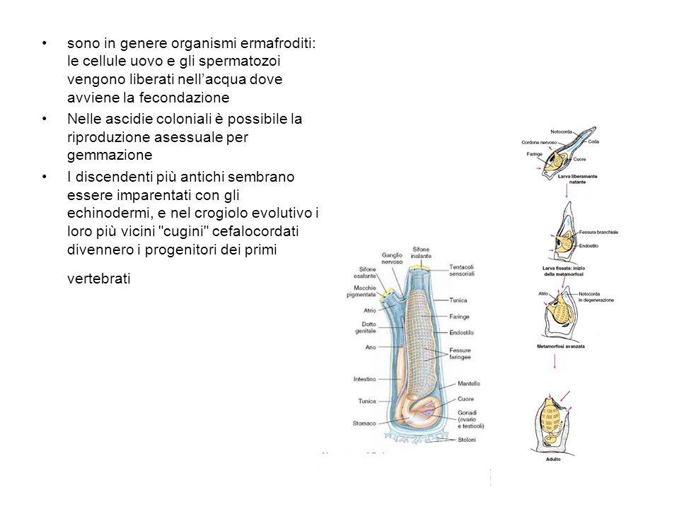 sono in genere organismi ermafroditi: le cellule uovo e gli spermatozoi vengono liberati nell'acqua dove avviene la fecondazione