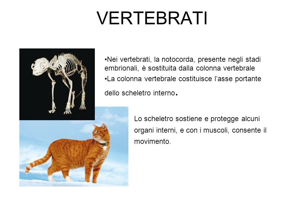 VERTEBRATI Nei vertebrati, la notocorda, presente negli stadi embrionali, è sostituita dalla colonna vertebrale.