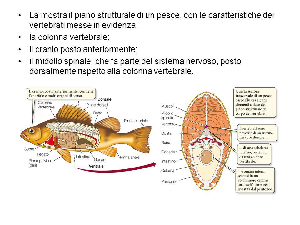La mostra il piano strutturale di un pesce, con le caratteristiche dei vertebrati messe in evidenza:
