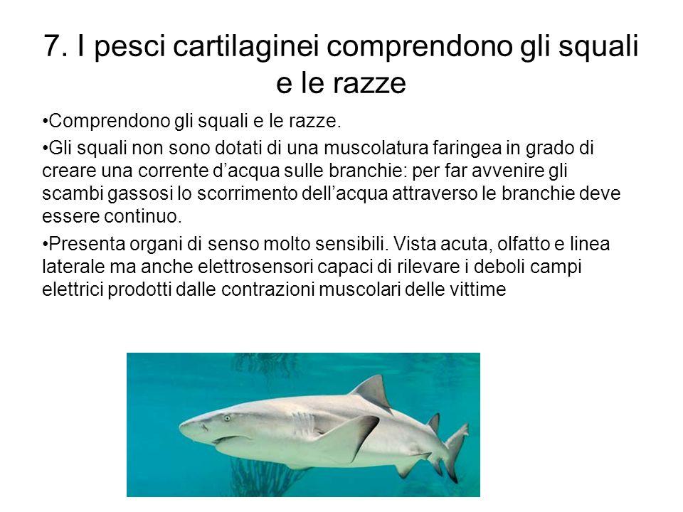 7. I pesci cartilaginei comprendono gli squali e le razze