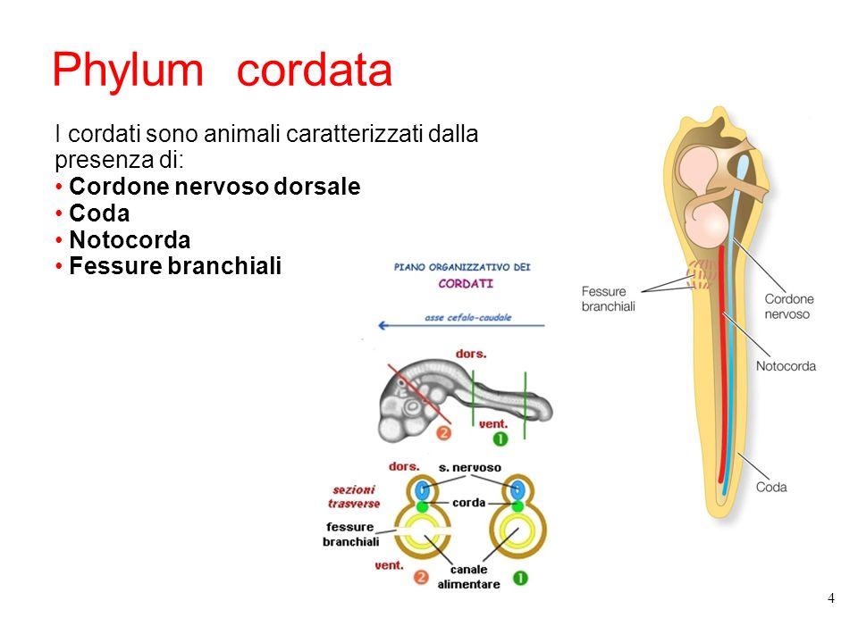 Phylum cordata I cordati sono animali caratterizzati dalla presenza di: Cordone nervoso dorsale. Coda.