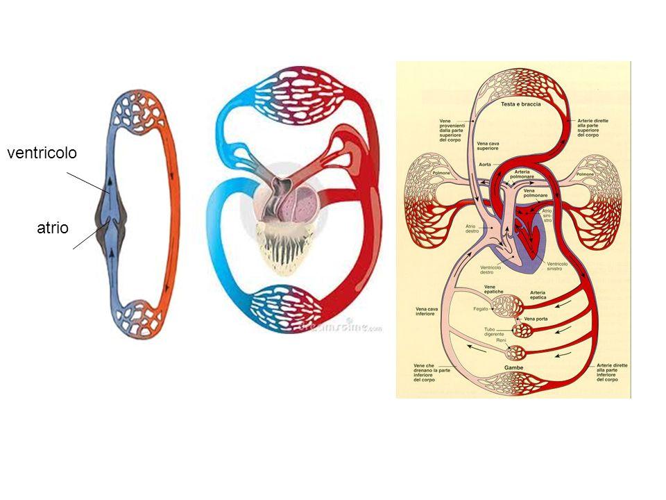 atrio ventricolo