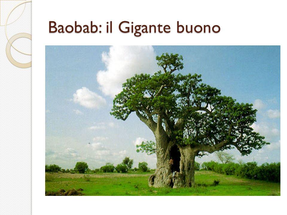 Baobab: il Gigante buono