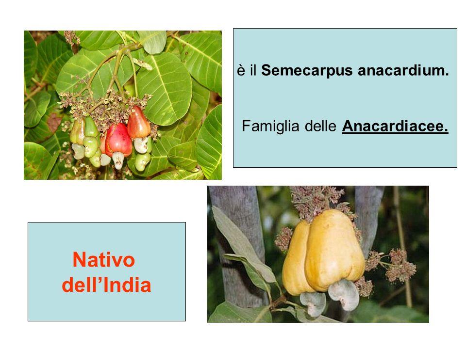 Nativo dell'India è il Semecarpus anacardium.