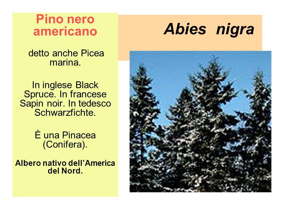 Abies nigra Pino nero americano