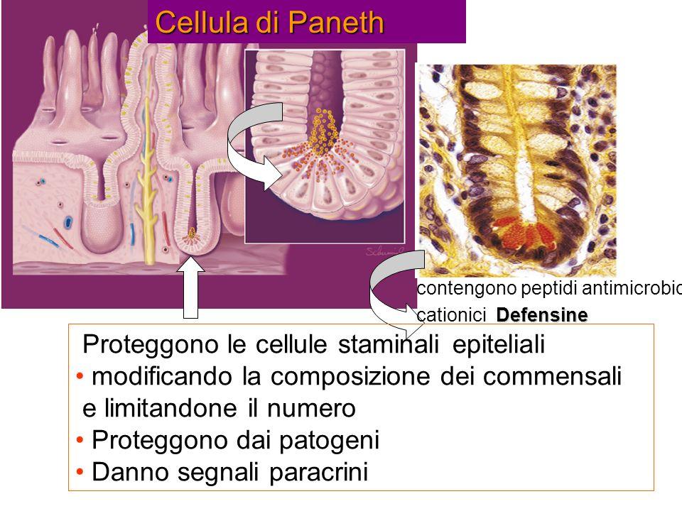Cellula di Paneth Proteggono le cellule staminali epiteliali
