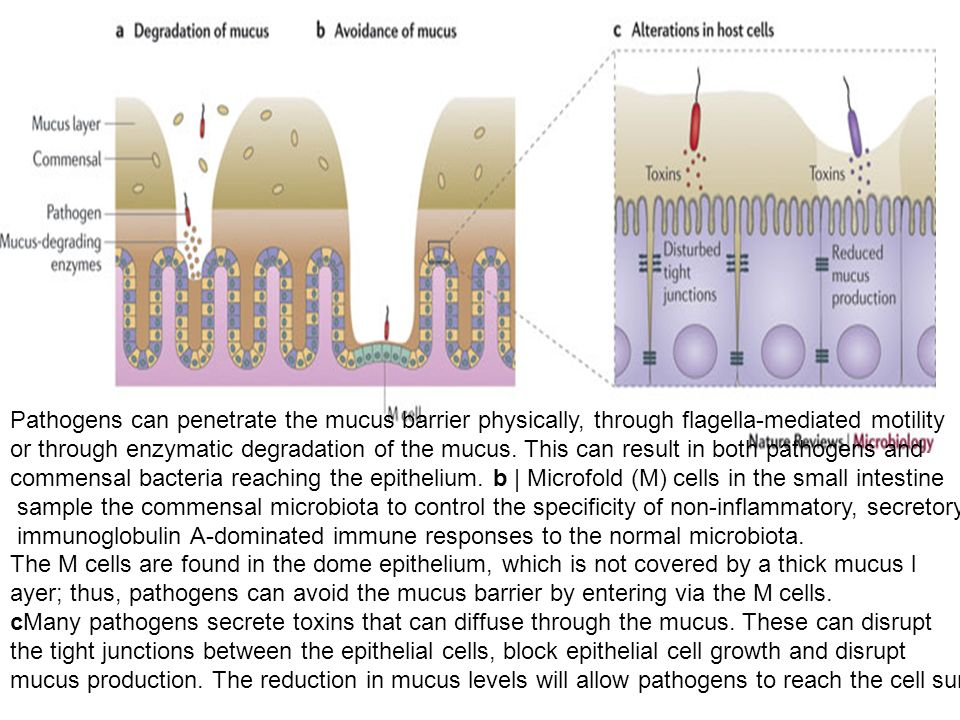 Pathogens can penetrate the mucus barrier physically, through flagella-mediated motility