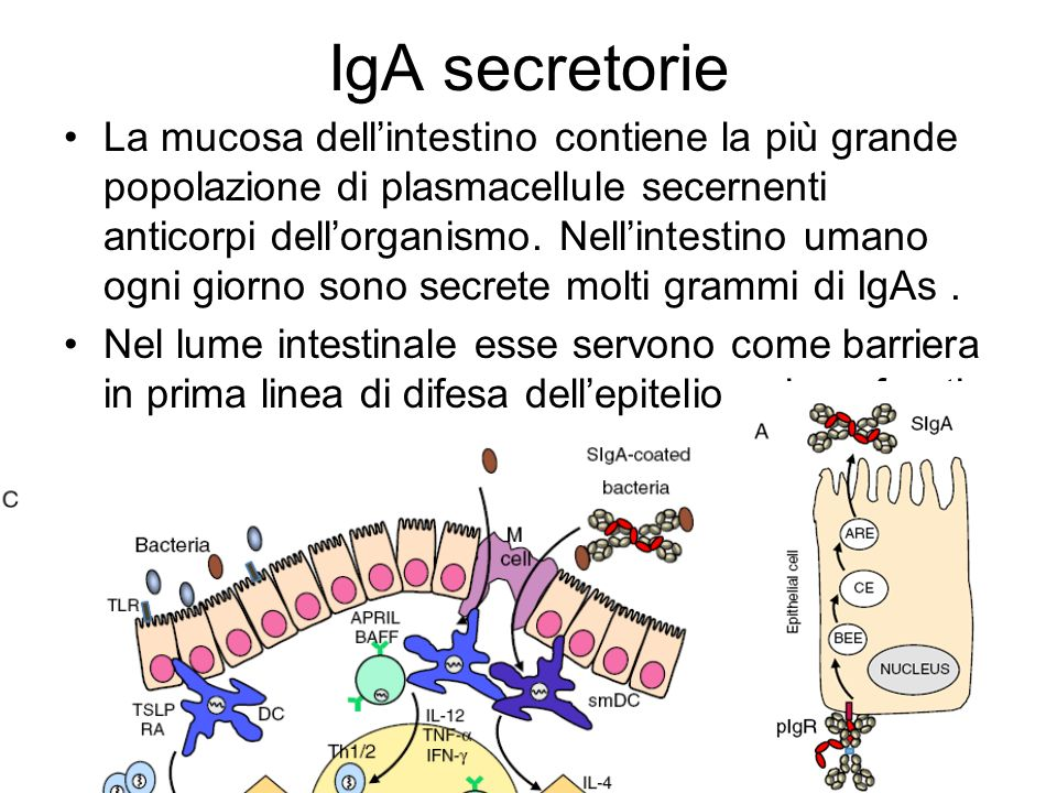 IgA secretorie