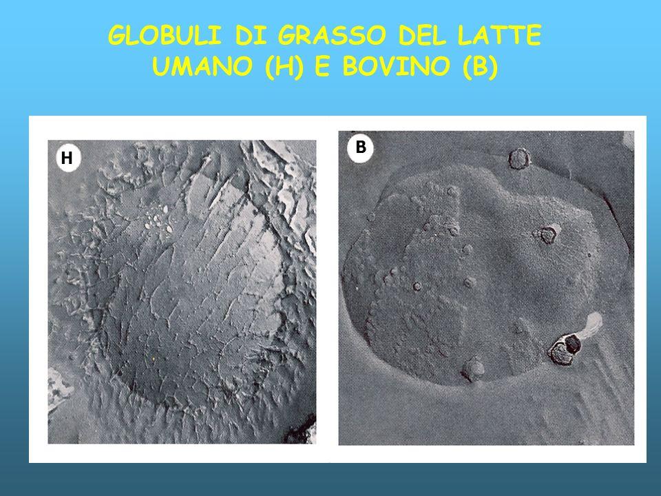 GLOBULI DI GRASSO DEL LATTE UMANO (H) E BOVINO (B)