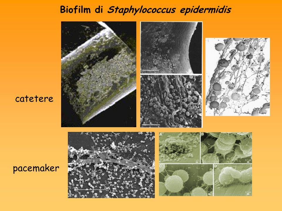 Biofilm di Staphylococcus epidermidis