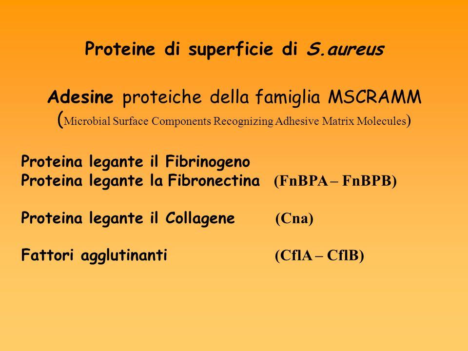 Proteine di superficie di S.aureus