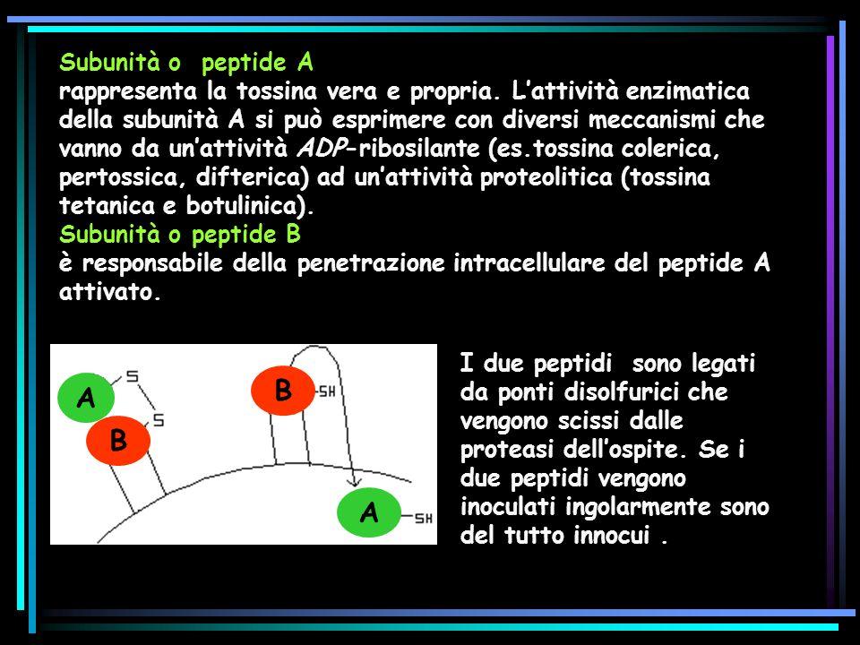 Subunità o peptide A