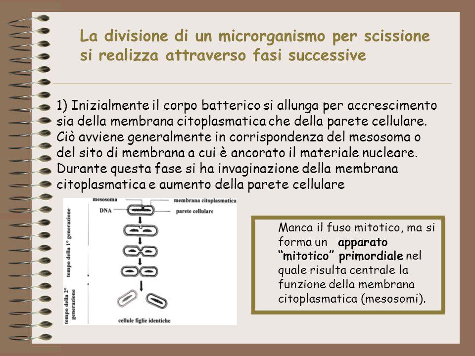La divisione di un microrganismo per scissione si realizza attraverso fasi successive