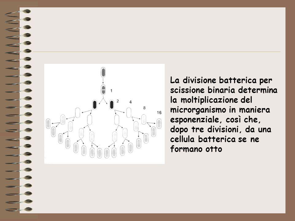 La divisione batterica per scissione binaria determina la moltiplicazione del microrganismo in maniera esponenziale, così che, dopo tre divisioni, da una cellula batterica se ne formano otto