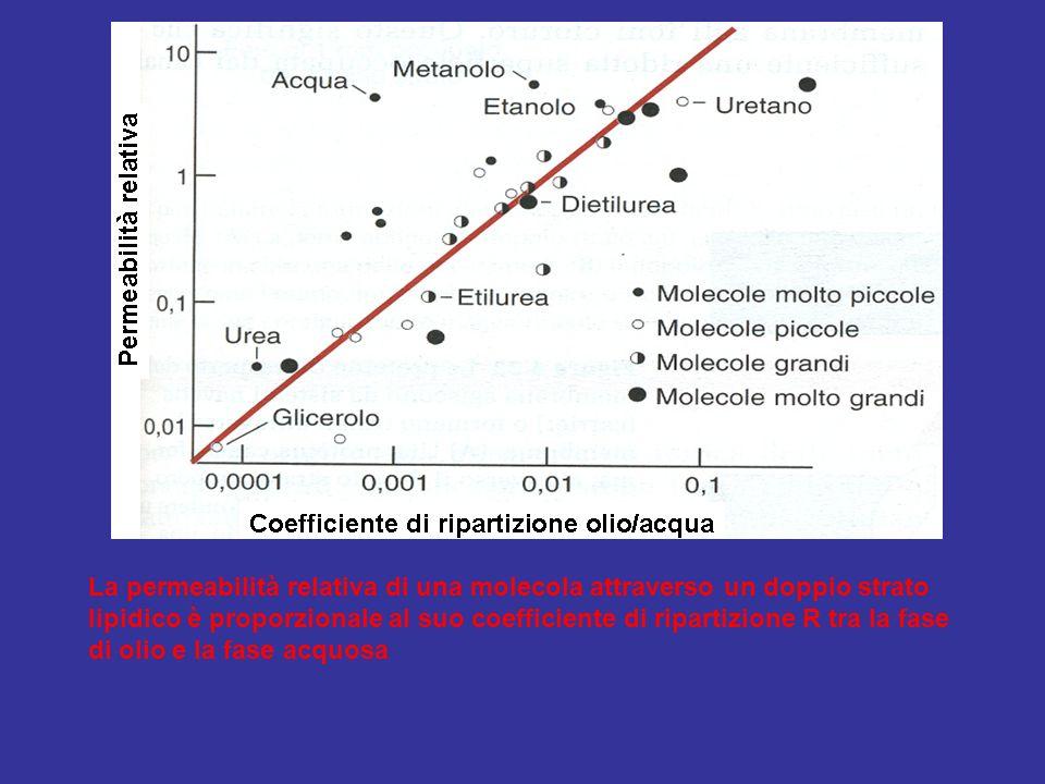 La permeabilità relativa di una molecola attraverso un doppio strato lipidico è proporzionale al suo coefficiente di ripartizione R tra la fase di olio e la fase acquosa