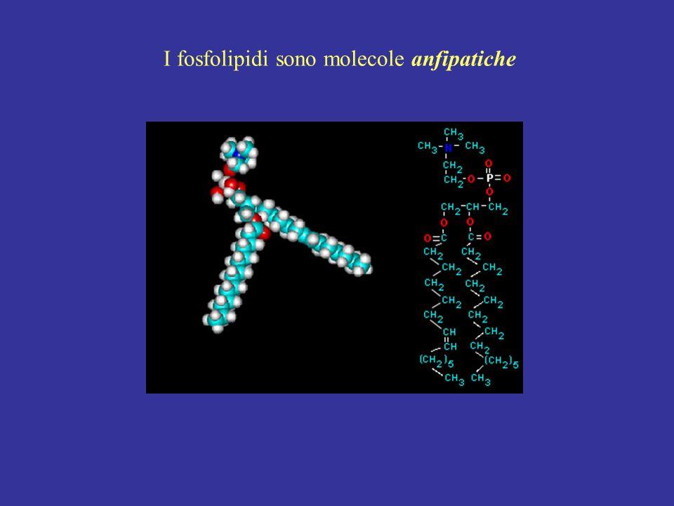 I fosfolipidi sono molecole anfipatiche