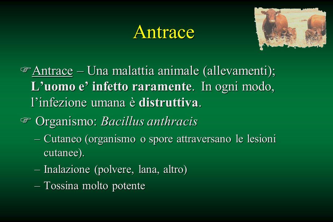 Antrace Antrace – Una malattia animale (allevamenti); L'uomo e' infetto raramente. In ogni modo, l'infezione umana è distruttiva.