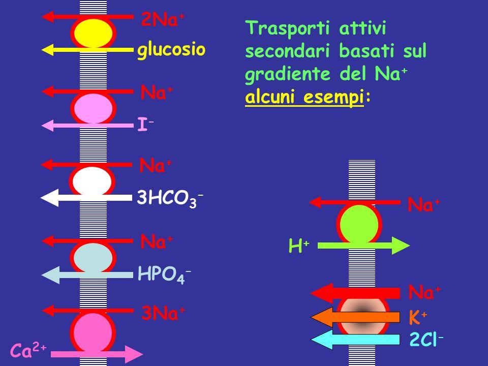 2Na+ Trasporti attivi secondari basati sul gradiente del Na+ alcuni esempi: glucosio. Na+ I- Na+