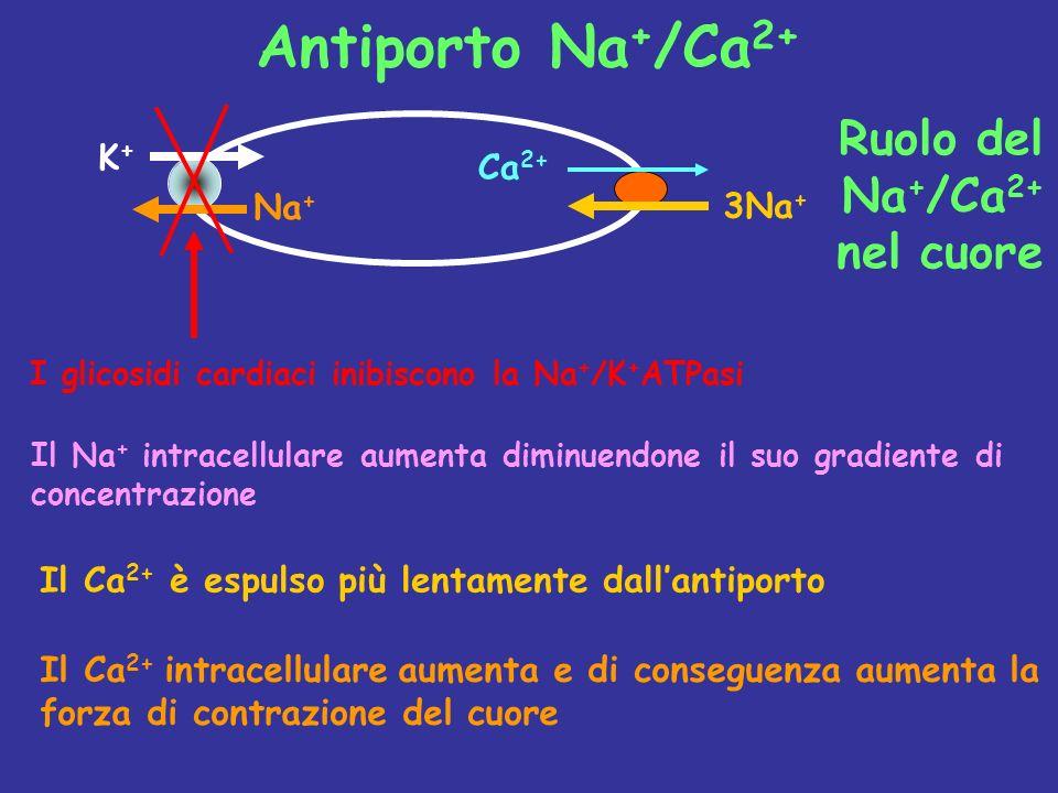 Antiporto Na+/Ca2+ Ruolo del Na+/Ca2+ nel cuore K+ Ca2+ Na+ 3Na+