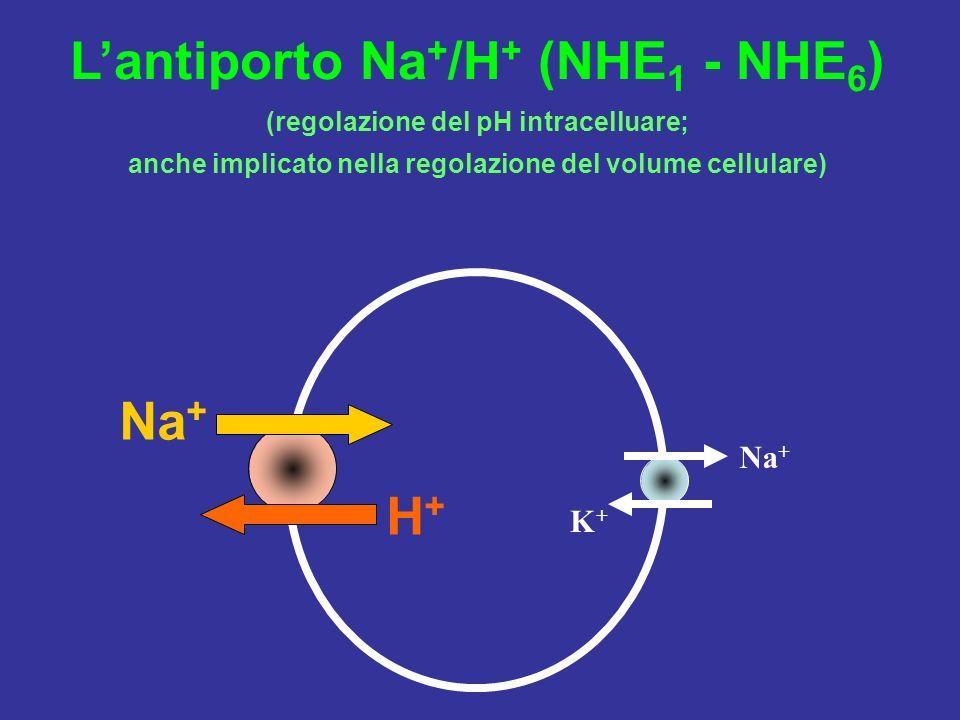 L'antiporto Na+/H+ (NHE1 - NHE6)