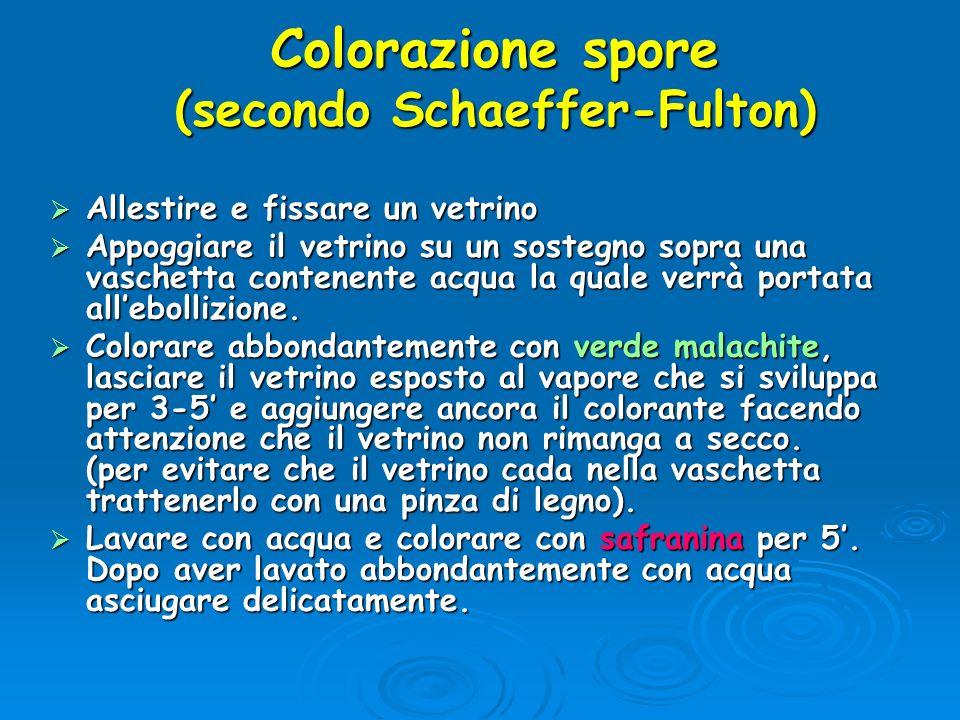 Colorazione spore (secondo Schaeffer-Fulton)