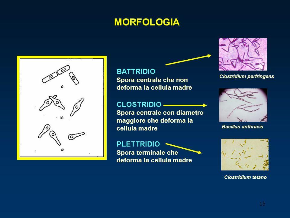 MORFOLOGIA BATTRIDIO CLOSTRIDIO PLETTRIDIO