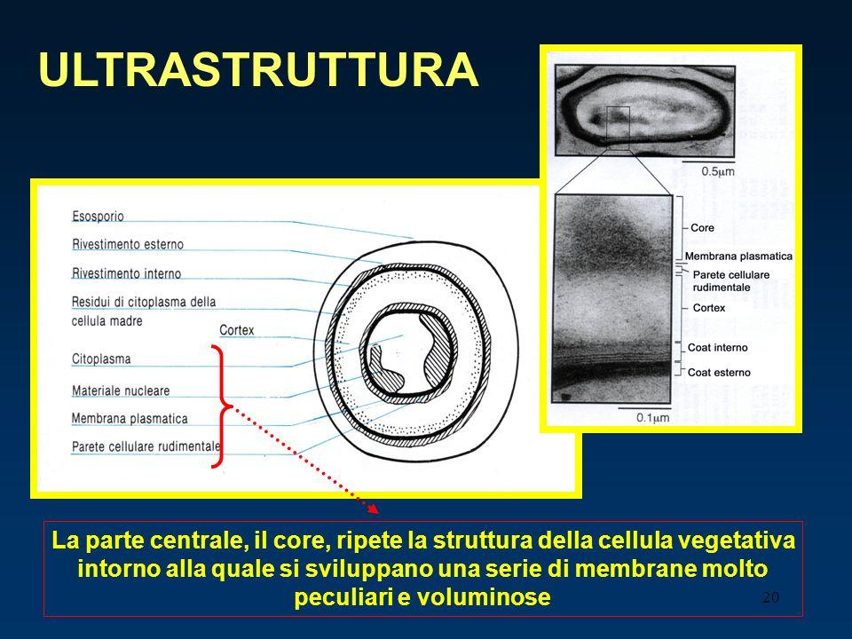 ULTRASTRUTTURA La parte centrale, il core, ripete la struttura della cellula vegetativa.