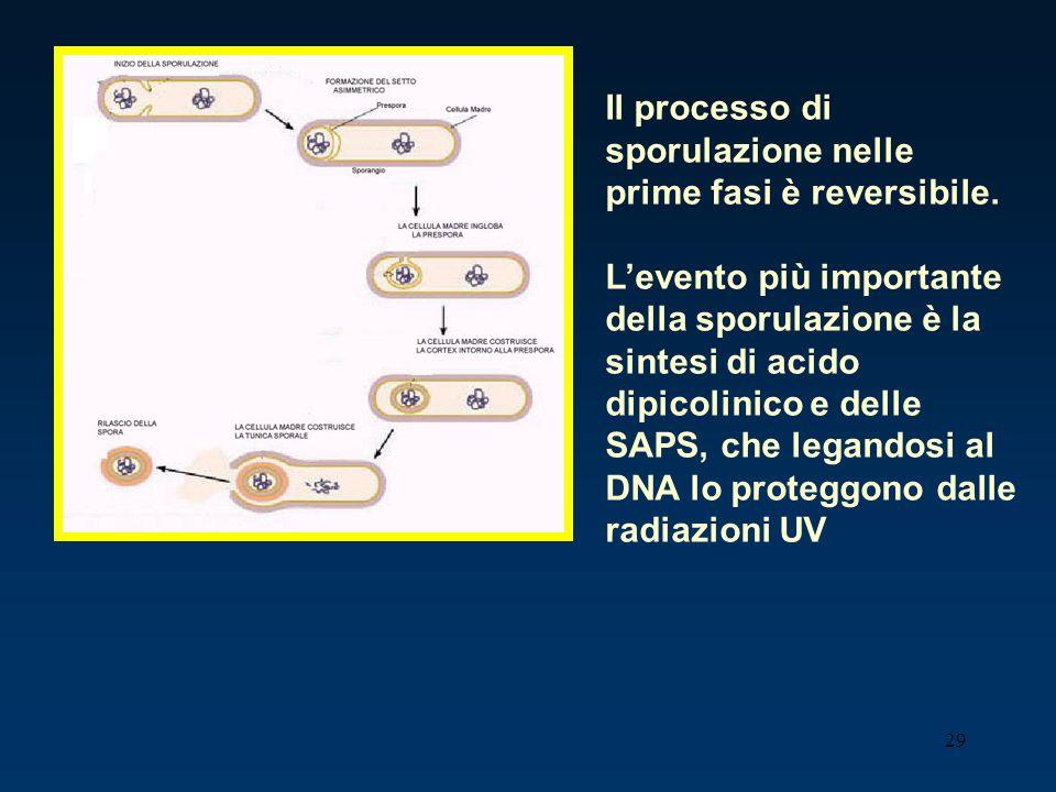 Il processo di sporulazione nelle prime fasi è reversibile.