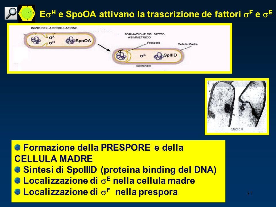 EsH e SpoOA attivano la trascrizione de fattori sF e sE