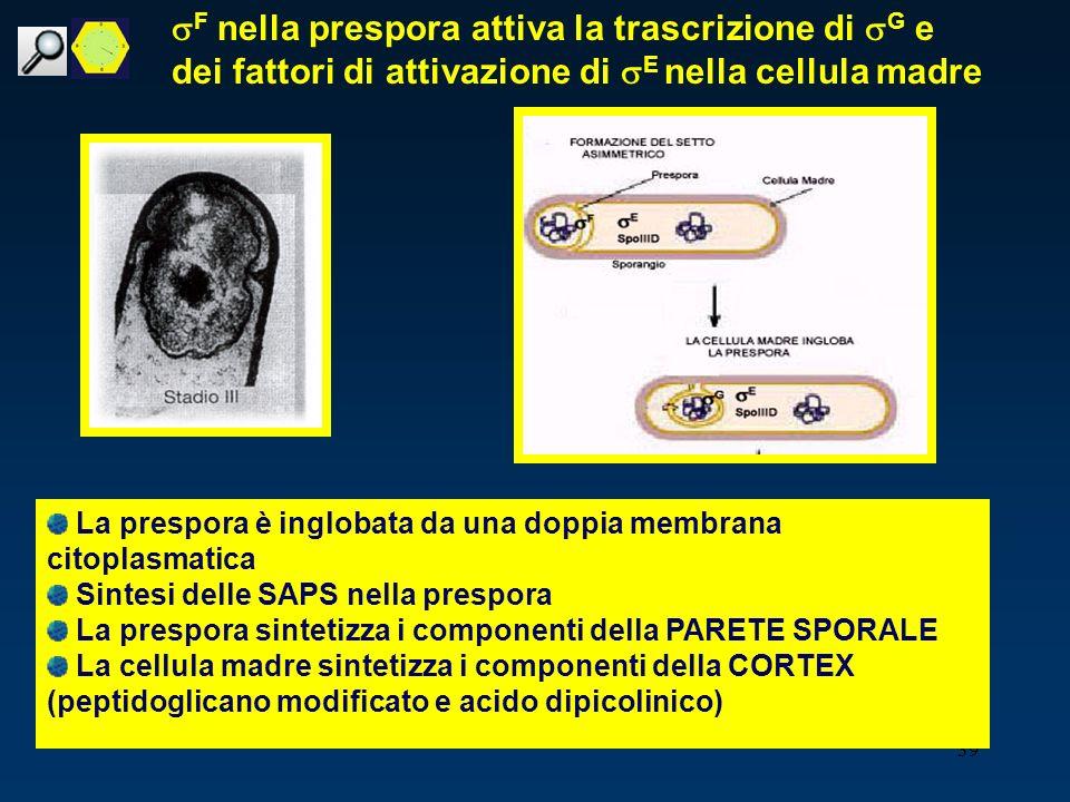 sF nella prespora attiva la trascrizione di sG e dei fattori di attivazione di sE nella cellula madre