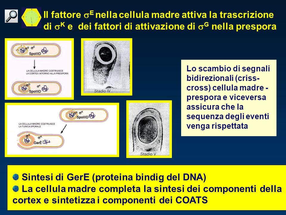 Sintesi di GerE (proteina bindig del DNA)