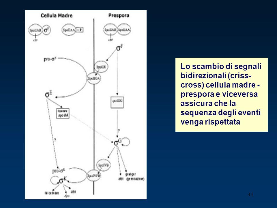Lo scambio di segnali bidirezionali (criss-cross) cellula madre -prespora e viceversa assicura che la sequenza degli eventi venga rispettata