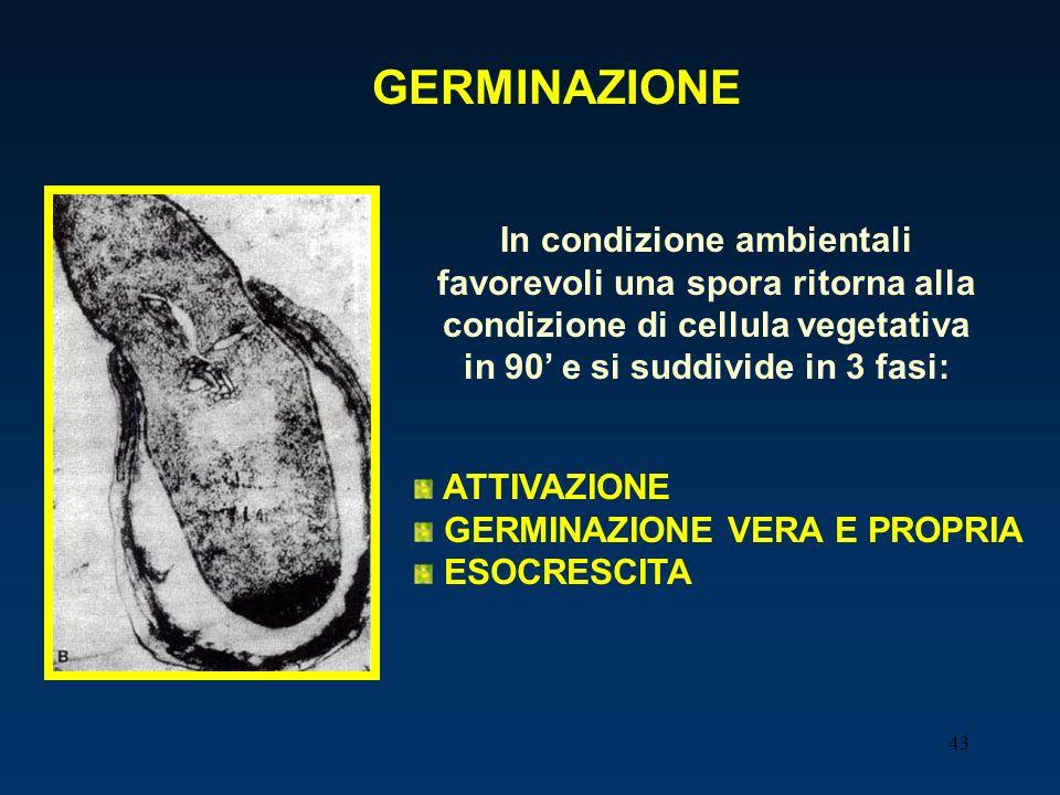 GERMINAZIONEIn condizione ambientali favorevoli una spora ritorna alla condizione di cellula vegetativa in 90' e si suddivide in 3 fasi: