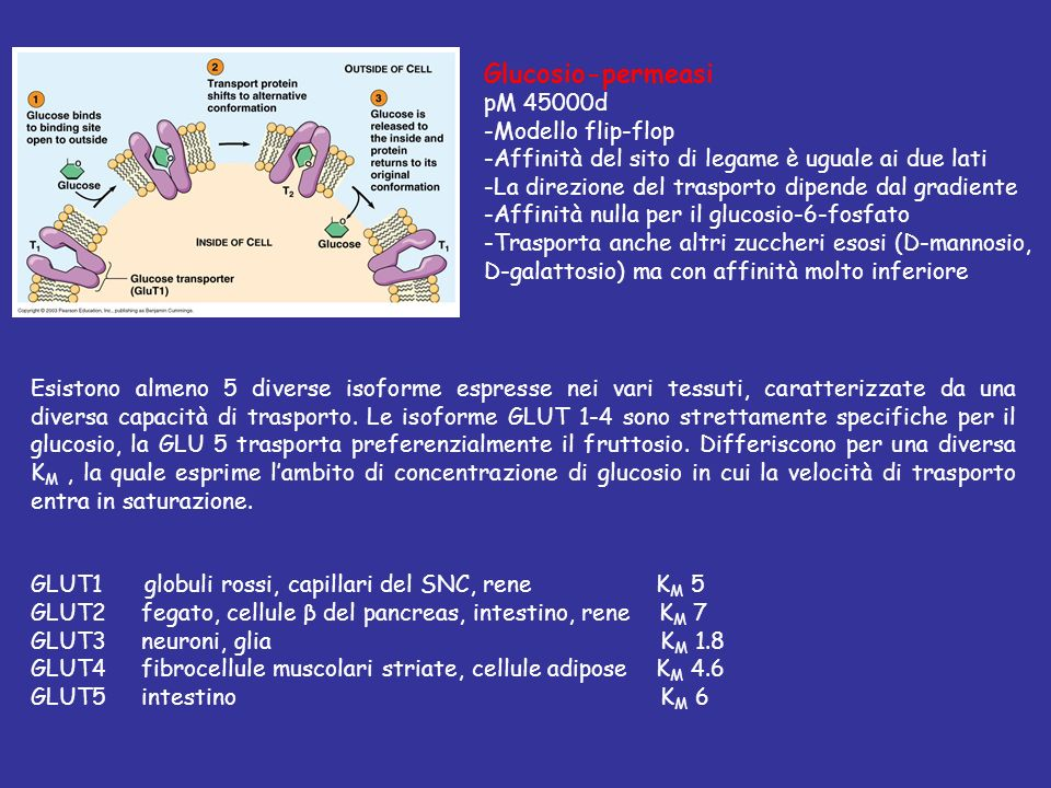 Glucosio-permeasi pM 45000d -Modello flip-flop
