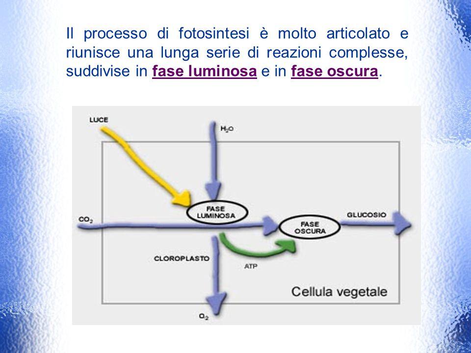 Il processo di fotosintesi è molto articolato e riunisce una lunga serie di reazioni complesse, suddivise in fase luminosa e in fase oscura.