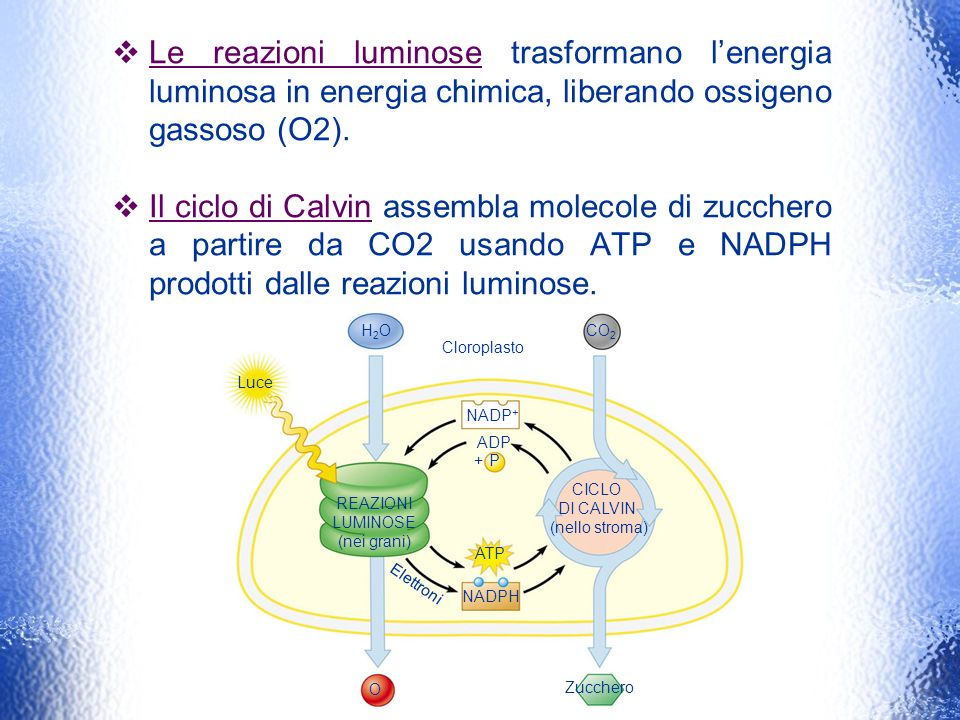 Le reazioni luminose trasformano l'energia luminosa in energia chimica, liberando ossigeno gassoso (O2).