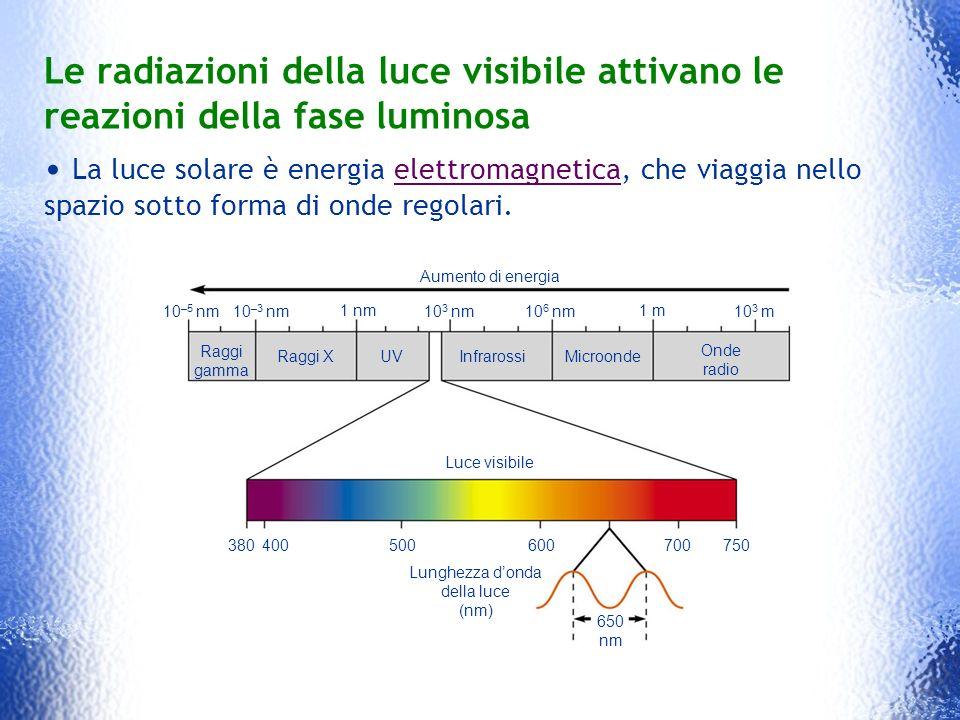 Le radiazioni della luce visibile attivano le reazioni della fase luminosa