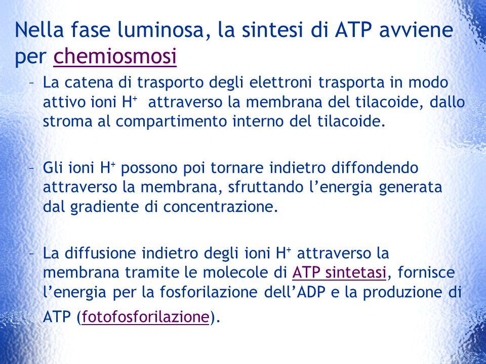 Nella fase luminosa, la sintesi di ATP avviene per chemiosmosi